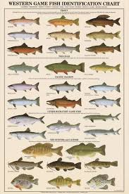 Catfish Chart Western Game Fish Identification Poster Freshwater Fish Charts