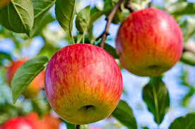 Best 25 Blueberry Plants For Sale Ideas On Pinterest  Fruit Non Gmo Fruit Trees For Sale