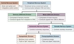 Cns And Pns Chart Nervous System Bioninja