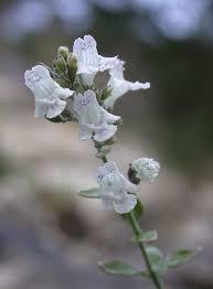 MICROMERIA fruticosa   emerisa gardens