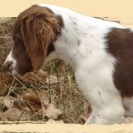 brittany spaniel gun dog