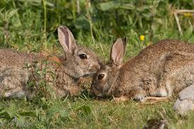 """Résultat de recherche d'images pour """"lapin de garenne"""""""