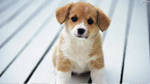 cute puppy wallpaper for computer. Delighful Computer 3840x2160 Intended Cute Puppy Wallpaper For Computer O