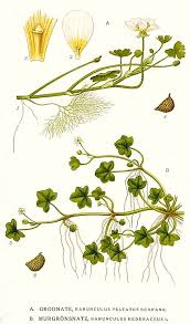 File:167 Ranunculus peltatus, Ranunculus hederaceus.jpg ...