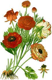 Ranunculus asiaticus - Wikipedia