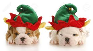 English Bulldog Puppies Dressed Up Like Christmas Elf With ...