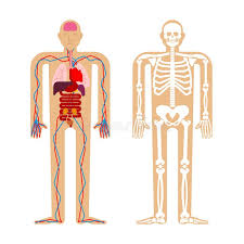 Internal Human Anatomy Chart Human Anatomy System Skeleton And Internal Organs Systems