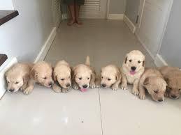 golden retriever newborn puppies. Delighful Retriever On Golden Retriever Newborn Puppies YouTube