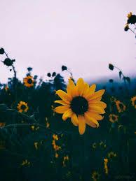 Aesthetic Sunflower Wallpapers ...