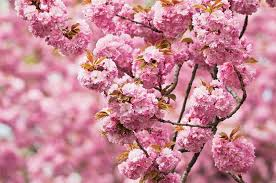 top 6 trees with pink and white flowers