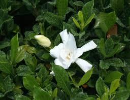 gardenia jasminoides august beauty