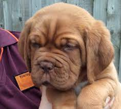 Turner and Hooch puppies for sale ...