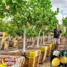 Fruit Tree Videos Nut Trees Sapodilla Tree 25 Off FreightFruit Salad Trees Usa