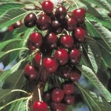 Best 25 Dwarf Cherry Tree Ideas On Pinterest  Dwarf Flowering When Do Cherry Trees Bear Fruit