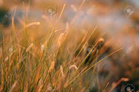 wild grass texture. The Texture Of Grass At Sunset. Wild Wild T