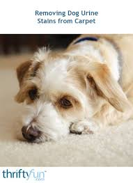 cleaning dog urine stains from carpet