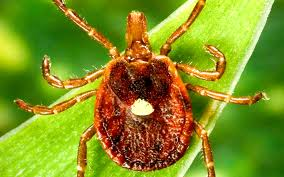 Southern tick — whose bite blamed for allergy to red meat ...