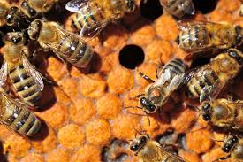 Scientists Find Holes In Armor Of Major Honey Bee Pest