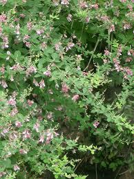 Lespedeza bicolor – Wikipedia