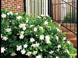average american flower size the complete guide to gardenias southern living