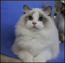 Small Picture 709 best ragdoll cats images on Pinterest Kitty cats Ragdoll