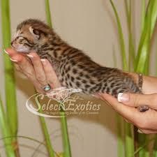 f3 savannah kitten for