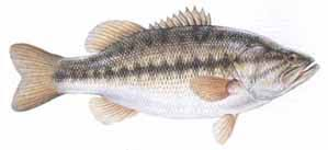 Types Of Bass Fish Chart Aquatic Species Found In Fresh Water