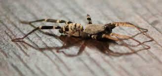 Spider Identification Chart Arkansas Id Request In Western Arkansas Wolf Spider Maybe Imgur
