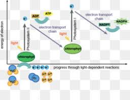 Photosynthesis Light Dependent Reactions Chloroplast