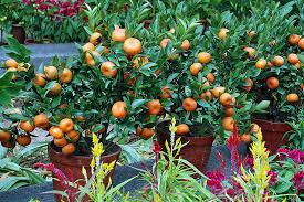 Fruit Trees  Studio LouellaPots For Fruit Trees