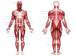 The muscles labelled in the anterior muscles diagram shown above are listed in bold in the following table Human Muscle Anatomy Quiz