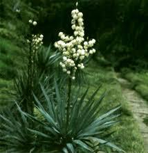 Реферат Лекарственное растительное сырье содержащее сапонины  Лекарственное растительное сырье содержащее сапонины