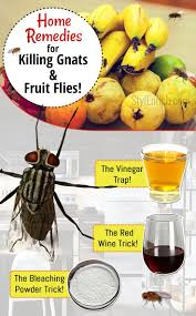 Best 25 Killing gnats ideas on Pinterest