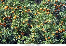 Orange Fruit Tree Lotus Temple Stock Photos U0026 Orange Fruit Tree Lotus Fruit Tree