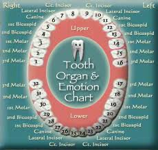 Tooth Organ Meridian Chart Tooth Chart