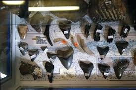 How Venice Came To Be Known As The Shark Tooth Capital Of