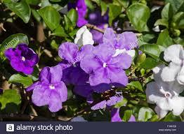 Hasil gambar untuk Brunfelsia uniflora
