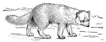 Realistic Arctic Fox coloring page | Free Printable Coloring Pages