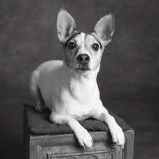Portrait Of A Jack Russell Terrier Dog ...