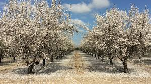 How To Determine Optimal Almond Tree Spacing Growing Produce