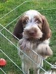 Spinone puppies for sale in uk zithromax