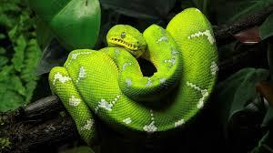 Green Tree Python 4k Ultra HD Wallpaper ...
