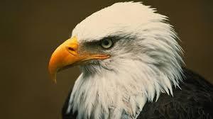 Small Picture Bald Eagle