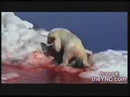 polar bear vs walrus  polar bear vs walrus