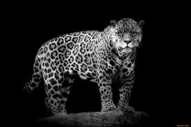 2048x1536 wallpapers for black and white cheetah print background