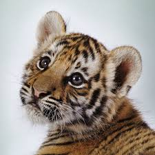 cute baby tiger. Perfect Baby Baby Tigers Have Blue Eyes And Other Fun Tiger Facts Intended Cute Tiger
