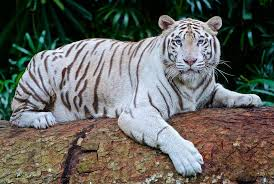 white tiger. Brilliant Tiger Intended White Tiger Wikipedia