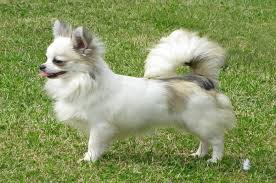 long coat chihuahua color white this dog type