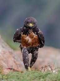 hawk without feathers. Plain Feathers PsBA Hawk Strutting Its Stuff  Intended Hawk Without Feathers A