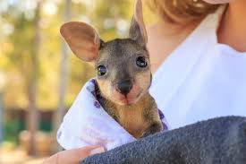 Image result for joey kangaroo